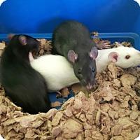 Cambridge On Rat Meet Baby Rats A Pet For Adoption