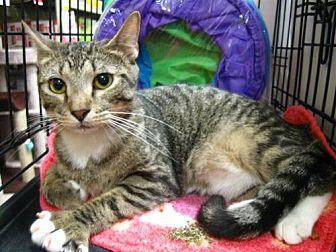 Domestic Shorthair Cat for adoption in Oviedo, Florida - Devon