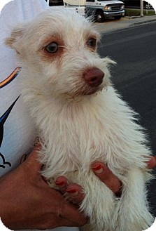 Terrier (Unknown Type, Small) Mix Puppy for adoption in Temecula, California - Sweetie Pie
