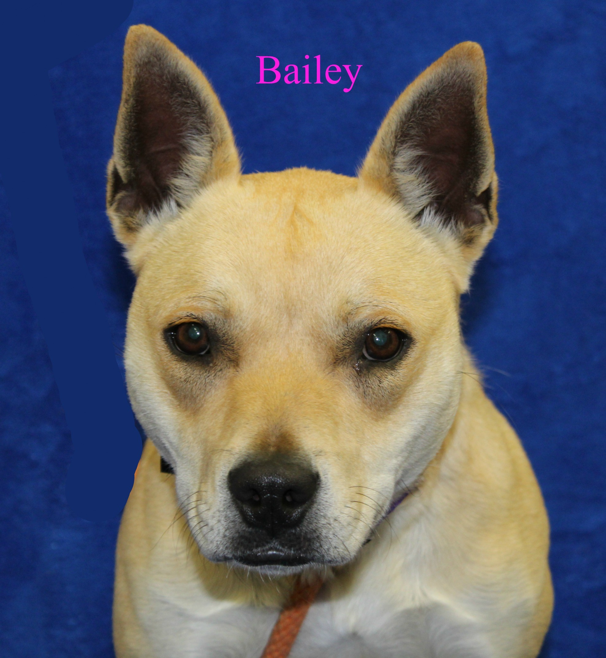 Melbourne Ky Shiba Inu Meet Bailey A Pet For Adoption
