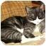 Photo 3 - Domestic Shorthair Cat for adoption in Scottsdale, Arizona - Elvira-tiny lap cat