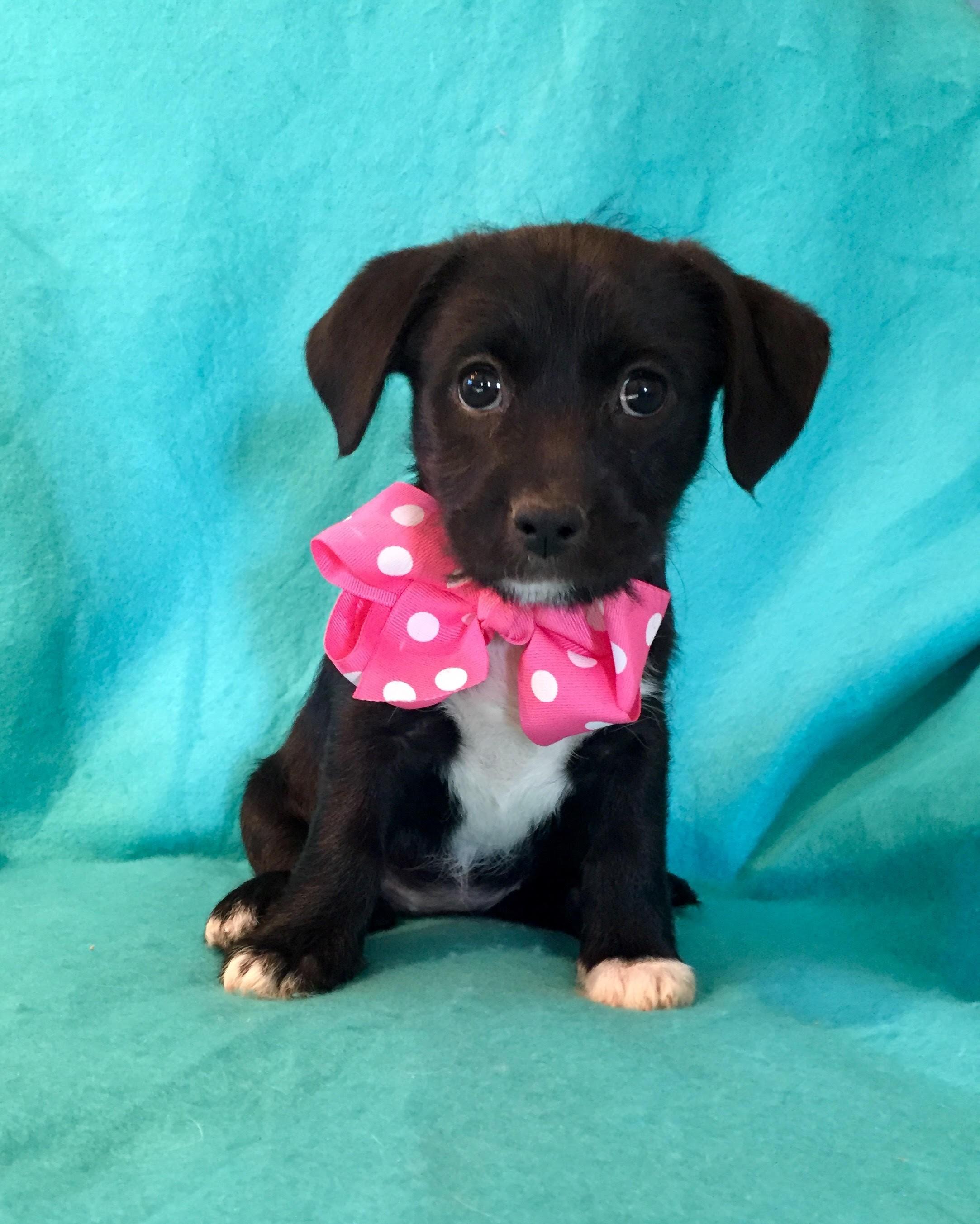 Irvine, CA - Labrador Retriever. Meet Trix a Dog for Adoption.