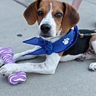 Adopt A Pet :: Baby Puppy Bailey
