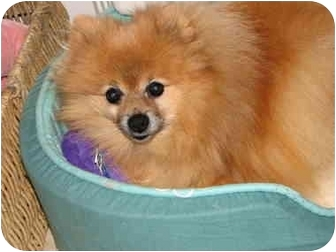 Pomeranian Dog for adoption in Holland, Michigan - peter pooh bear