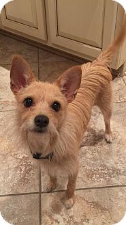 Terrier (Unknown Type, Small) Mix Dog for adoption in Alpharetta, Georgia - Shannon