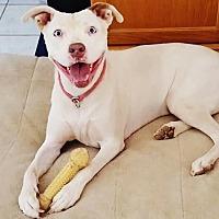 American Pit Bull Terrier Mix Dog for adoption in Phoenix, Arizona - Shine