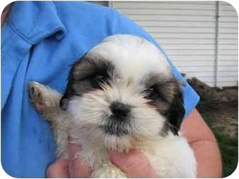 Arlington Heights Il Shih Tzu Meet Shih Tzu Puppy Female A Pet