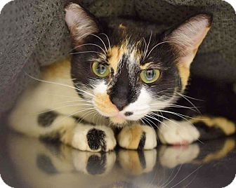Calico Cat for adoption in Sierra Vista, Arizona - Gizmo