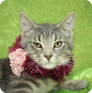 Domestic Shorthair Kitten for adoption in Jackson, Michigan - Jean