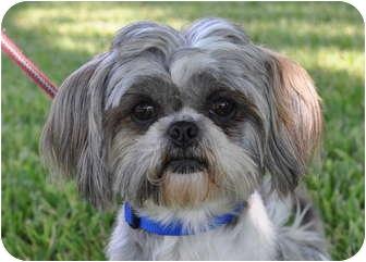 Austin Tx Shih Tzu Meet Rhys A Pet For Adoption