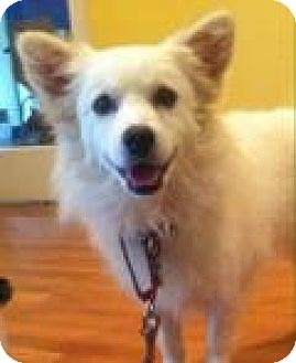 American Eskimo Dog Dog for adoption in Mount Pleasant, South Carolina - Chrissy