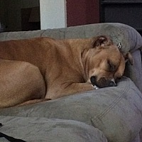 Boxer/American Pit Bull Terrier Mix Dog for adoption in Boerne, Texas - Lexi