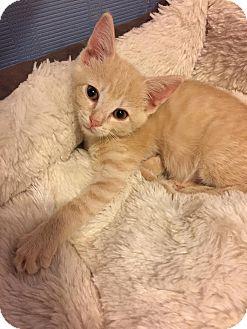 Domestic Shorthair Kitten for adoption in Charlotte, North Carolina - A..  Sydney