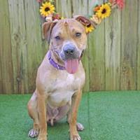 Boxer Puppies for Sale in Ocala Florida - Adoptapet com