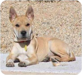 Gilbert Az Shar Pei Meet Kala A Pet For Adoption