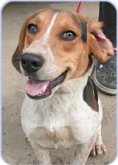 Beagle Mix Dog for adoption in Simcoe, Ontario - Chewy