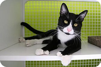 Domestic Shorthair Cat for adoption in Los Angeles, California - Hemingway - Polydactyl