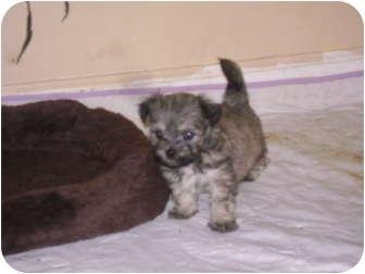 Sophia Nc Maltese Meet Maltese Shihtzu Puppies A Pet For Adoption