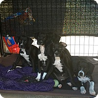 Adopt A Pet :: Dane Lab Mix Pups - Long Beach, CA