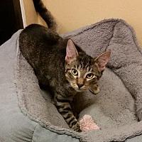 Adopt A Pet :: Tommy - Hallandale, FL
