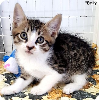Domestic Shorthair Kitten for adoption in Key Largo, Florida - Emily