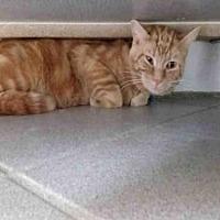 Adopt A Pet :: OSCAR - Canfield, OH