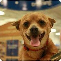 Adopt A Pet :: Scrappy - Arlington, TX