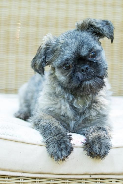 Tallahassee Fl Shih Tzu Meet Dewey Adopted A Dog For Adoption