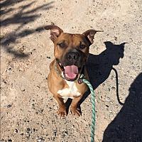 Adopt A Pet :: Nick - Las Vegas, NV