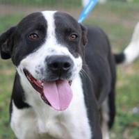 Adopt A Pet :: HARVEY - Kyle, TX