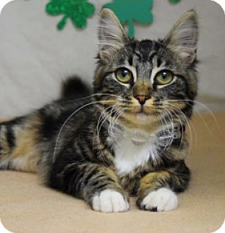 Domestic Mediumhair Cat for adoption in Dublin, California - Jasmine