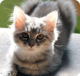 Calico Kitten for adoption in Maynardville, Tennessee - Jazmine