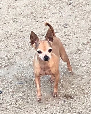 Reno Nv Chihuahua Meet Littlest A Pet For Adoption
