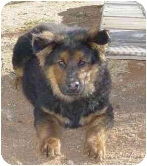 Russian Bear Dog Puppies