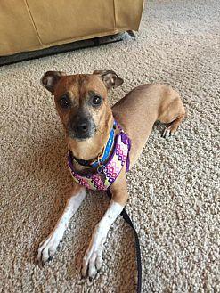 Adopt A Pet :: Boots  - Phoenix, AZ