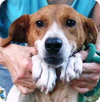 Beagle/Hound (Unknown Type) Mix Dog for adoption in Lexington, Massachusetts - Polly