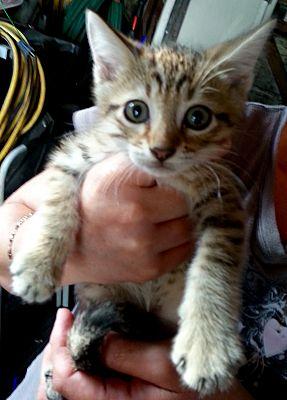 West Palm Beach Fl Maine Coon Meet Kittens A Pet For Adoption