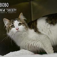 Adopt A Pet :: BO BO - Johnstown, PA