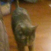 Domestic Shorthair Cat for adoption in Baltimore, Maryland - Cleo (COURTESY POST)
