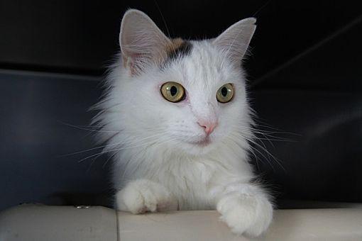 New Milford Ct Turkish Angora Meet Donna A Pet For Adoption
