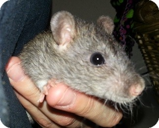 Rat for adoption in Lakewood, Washington - Agouti Berkshire Rex