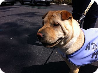 Shar Pei Puppy for adoption in Apple Valley, California - Cookie