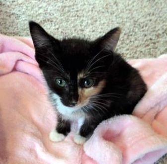 Domestic Shorthair/Domestic Shorthair Mix Cat for adoption in Santa Fe, Texas - Bianca