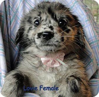 Danbury Ct Australian Shepherd Meet Lovie Adoption Pending A Dog For