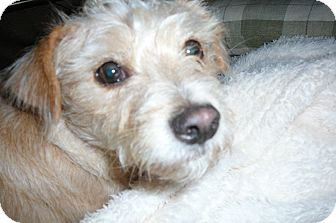 Fox Terrier (Wirehaired)/Jack Russell Terrier Mix Dog for adoption in Excelsior SPRINGS, Missouri - Jack