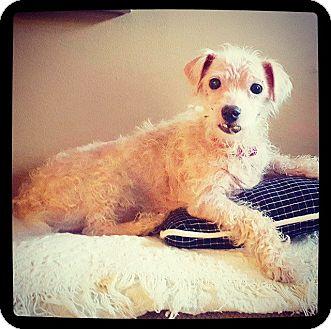 Maltese Mix Dog for adoption in Grand Bay, Alabama - Roy