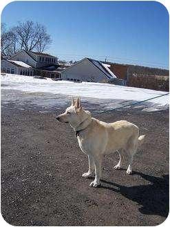 German Shepherd Dog Dog for adoption in Tully, New York - BO JANGLES