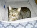 Adopt a Pet :: Amberlee - Hopkins, SC -  Domestic Shorthair/Domestic Shorthair Mix