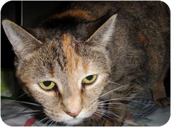 Domestic Shorthair Cat for adoption in Barron, Wisconsin - Sophie