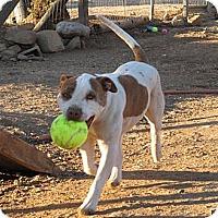 American Staffordshire Terrier Mix Dog for adoption in Toluca Lake, California - PT Cruiser